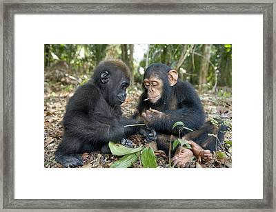 A Baby Gorilla And A Chimpanzee Framed Print by Michael Poliza