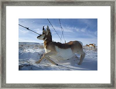 A Barbed Wire Fence Is An Obstacle Framed Print by Joel Sartore