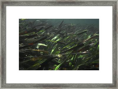 A Bed Of Sea Grass, Posidonia, Ripples Framed Print by Jason Edwards