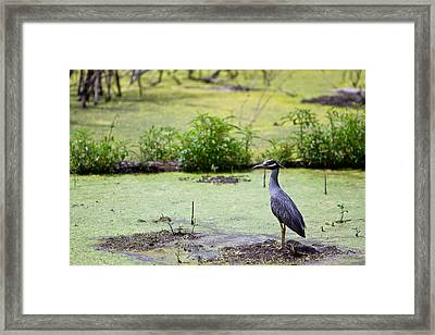A Blue Bird In A Wetland -yellow-crowned Night Heron  Framed Print by Ellie Teramoto