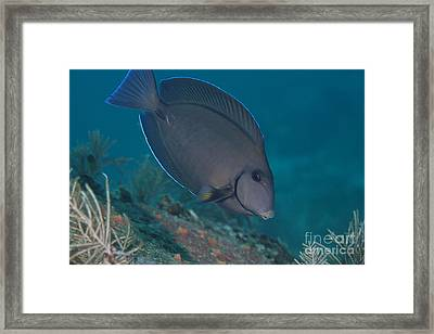 A Blue Tang Surgeonfish, Key Largo Framed Print by Terry Moore