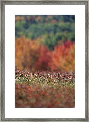 A Blueberry Patch Alongside Maines Framed Print by Nick Caloyianis
