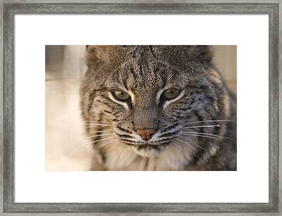 A Bobcat At The Rolling Hills Zoo Framed Print by Joel Sartore