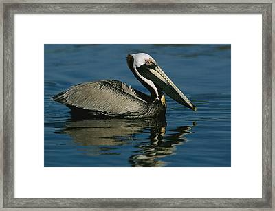 A Brown Pelican Floating Calmly Framed Print by Tim Laman