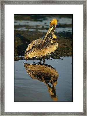 A Brown Pelican Preening Its Feathers Framed Print by Tim Laman