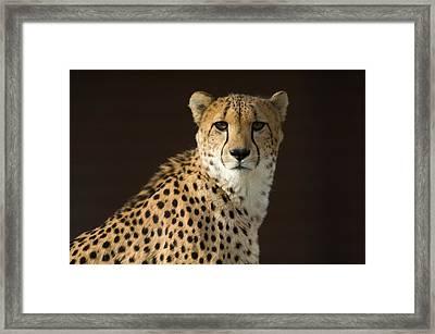 A Cheetah Acinonyx Jubatus Urinates Framed Print by Joel Sartore