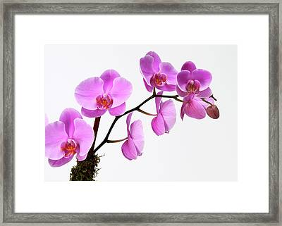 A Close-up Of An Orchid Branch Framed Print by Nicholas Eveleigh