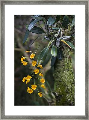 A Close View Of A Beautiful Dendrobium Framed Print by Taylor S. Kennedy