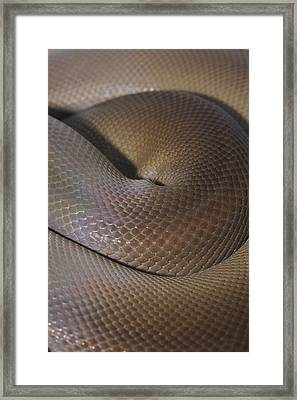 A Close View Of A Coiled Olive Python Framed Print by Jason Edwards