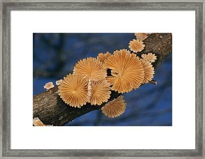 A Common Split Gill Mushrooms Sit Framed Print by Darlyne A. Murawski