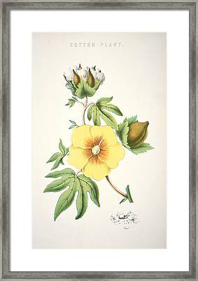 A Cotton Plant Framed Print by American School