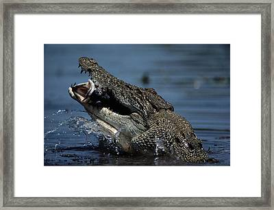 A Crocodile Eats A Giant Perch Fish Framed Print by Belinda Wright