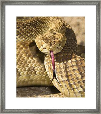 A Defensive Mojave Green Rattlesnake Framed Print by Jack Goldfarb