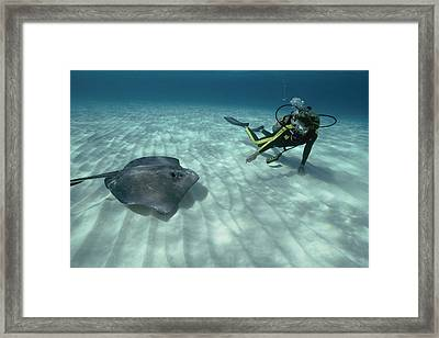 A Diver Swims Close To A Southern Sting Framed Print by Bill Curtsinger