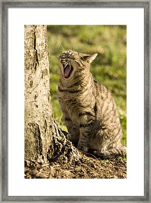 A Domestic Cat Yawning By A Tree Framed Print by Tim Laman
