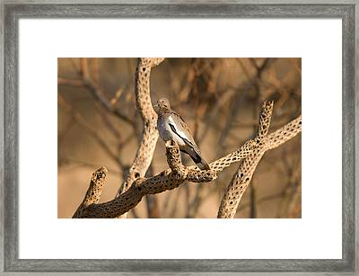 A Dove Inside The Desert Dome Framed Print by Joel Sartore