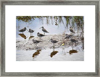A Fling Of Long Billed Dowitchers Framed Print by Roena King