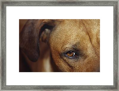 A Floopy Ear And Watchful Stare Framed Print by Jason Edwards