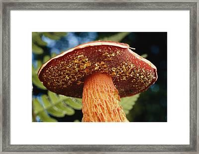A Frosts Bolete Mushroom With Yellow Framed Print by Darlyne A. Murawski