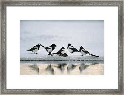 A Group Of Magpies Gathered Framed Print by Klaus Nigge