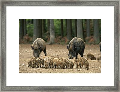 A Group Of Young Wild Boars Nose Framed Print by Norbert Rosing