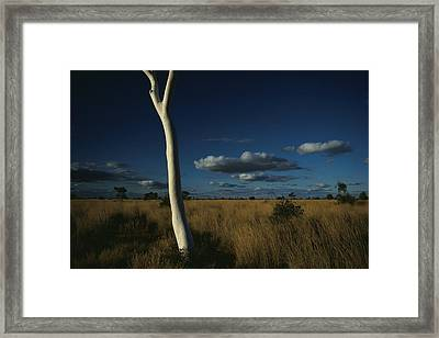 A Gum Tree Rises Above Grasses Framed Print by Medford Taylor