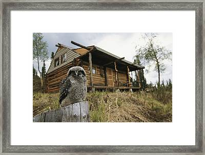 A Hawk Owl Sits On A Stump Near A Log Framed Print by Michael S. Quinton