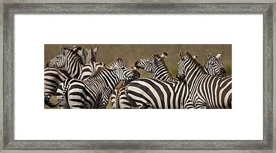 A Herd Of Zebra Stand In A Plain Framed Print by Ralph Lee Hopkins