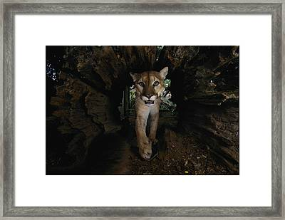 A Hissing Cougar Prowls The Louisiana Framed Print by Michael Nichols