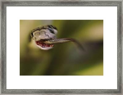 A Juvenile King Cobra Swallows Another Framed Print by Mattias Klum
