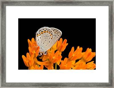 A Karner Blue Butterfly, Lycaeides Framed Print by Joel Sartore