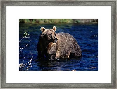 A Kodiak Brown Bear Wades In An Alaska Framed Print by George F. Mobley
