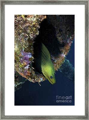 A Large Green Moray Eel Framed Print by Terry Moore