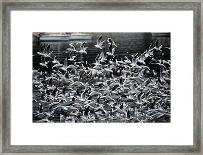 A Large Group Of Black-headed Gulls Framed Print by Tim Laman