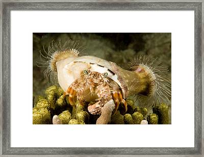 A Large Hermit Crab With Sea Anemones Framed Print by Tim Laman