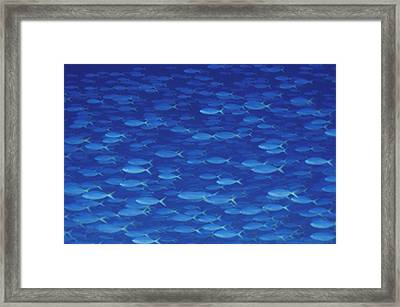 A Large School Of Fusilier Fish Framed Print by Bill Curtsinger