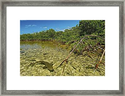 A Lemon Shark Pup Swims Among Mangrove Framed Print by Brian J. Skerry