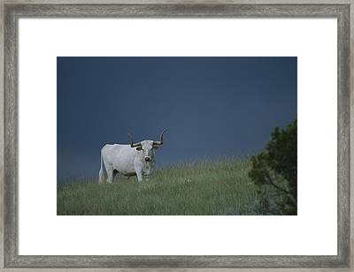 A Longhorn Steer, One Member Of A Small Framed Print by Michael Melford