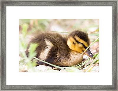 A Lost Baby Duck  Framed Print by Ellie Teramoto