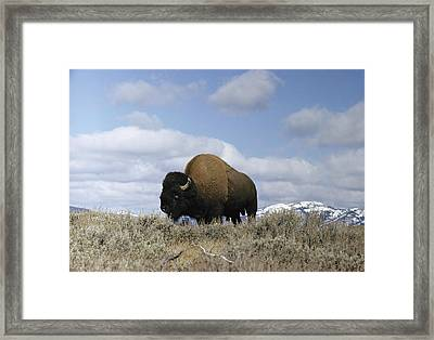 A Magnificent American Bison Bull Bison Framed Print by Dr. Maurice G. Hornocker