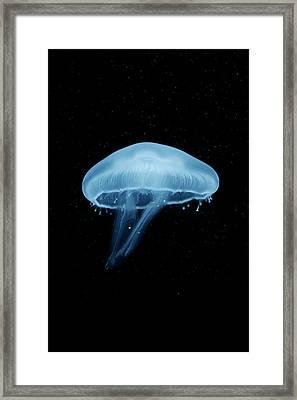 A Moon Jellyfish (aurelia Aurita) Berlin, Germany Framed Print by Andreas Schlegel