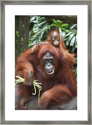 A Mother Orangutan Eats Vegetables With Framed Print by Deddeda