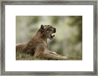 A Mountain Lion, Felis Concolor, Curls Framed Print by Jim And Jamie Dutcher