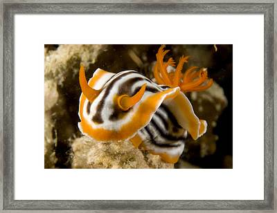 A Nudibranch Crawls Over The Reef Framed Print by Tim Laman