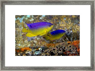 A Pair Of Juvenile Cocoa Damselfish Framed Print by Michael Wood