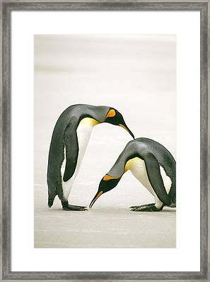 A Pair Of King Penguins In A Courtship Framed Print by Ralph Lee Hopkins