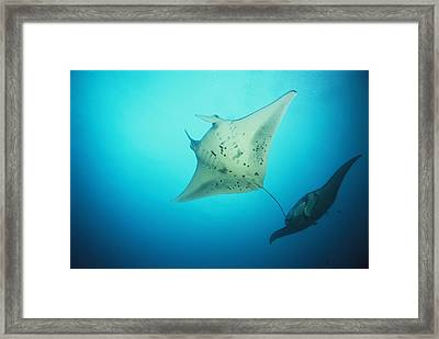 A Pair Of Manta Rays In The Waters Framed Print by Heather Perry