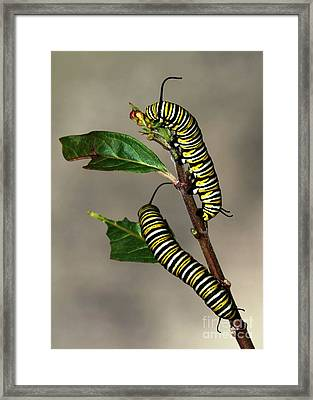 A Pair Of Monarch Caterpillars Framed Print by Sabrina L Ryan