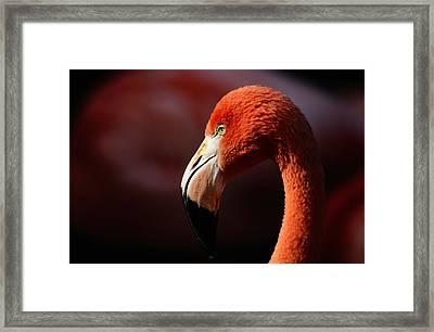 A Portrait Of A Captive Greater Framed Print by Tim Laman