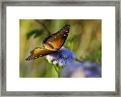 A Queen Butterfly  Framed Print by Saija  Lehtonen